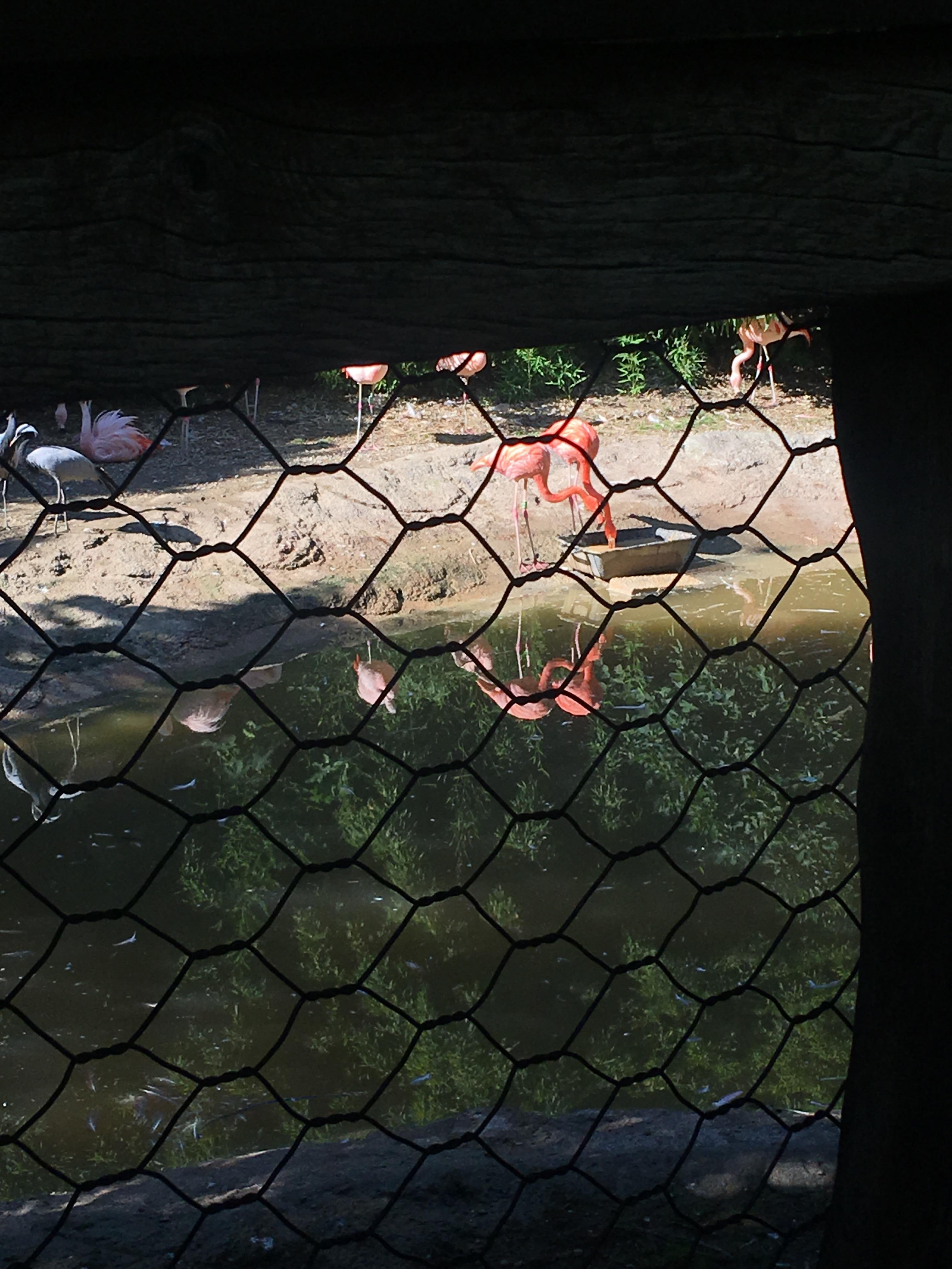 Fenicotteri rosa al parco delle cornelle